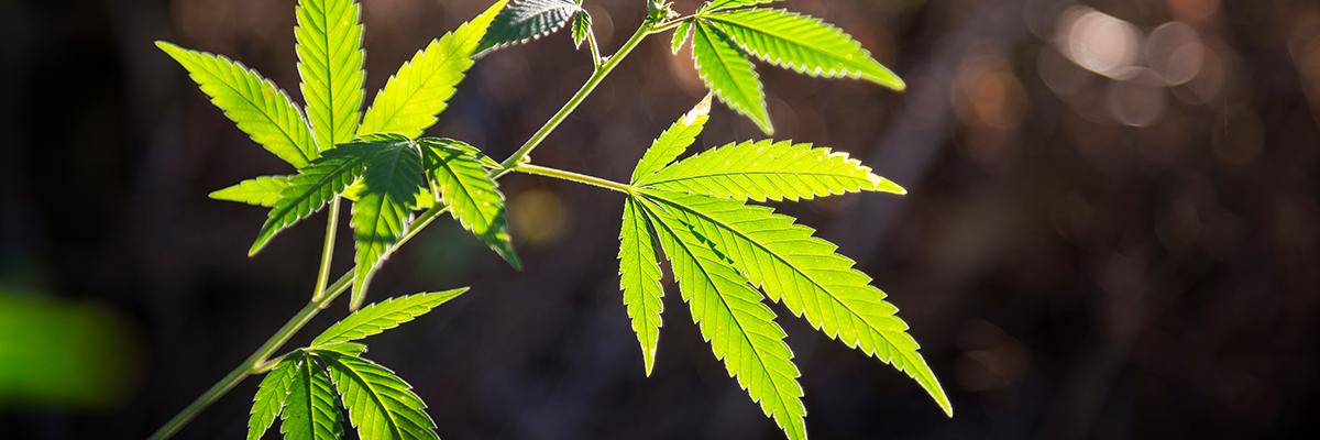 Treating PTSD with Medical Marijuana
