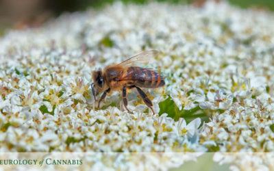 Cannabis & Bee Survival